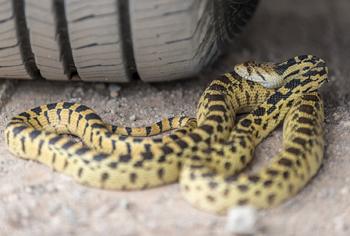 Snake Wrap - Risky Business